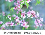 Pring Cherry Blossoms  Pink And ...