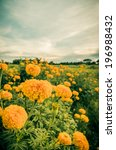 marigolds or tagetes erecta... | Shutterstock . vector #196988432