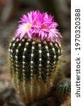 Cactus Pink Flower Macro Bokah