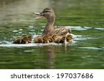 Mother Mallard Duck   Anas...