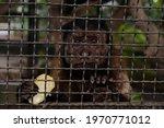 Monkey Eating Banana From...