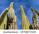 Towering Arizona Cactus From...