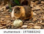 A Cute Furry Guinea Pig Eating...