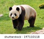 Giant Panda Looking At Camera.