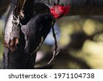 Southern Woodpecker Or Giant...