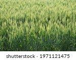 Ears Of Wheat In Ripening