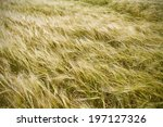 Long Tall Grass Blowing In A...