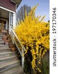 Forsythia  Yellow Bush And...