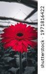Beautiful Red Daisy Flower In...