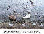 White Swan  Cygnus  Gray Swan ...