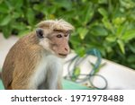 A Large Male Macaque Monkeys...