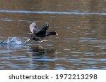 The Eurasian Coot  Fulica Atra  ...