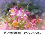 Flower Aquilegia  Latin....