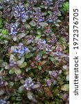Small photo of Ajuga reptans, bugle, blue bugle, bugleherb, bugleweed, carpetweed, carpet bugleweed, common bugle, St. Lawrence plant. It is an herbaceous flowering plant, in the mint family. Berlin, Germany