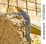 Small photo of NAKURU, KENYA - JANUARY 24: a rainbow agama lizard (Agama agama) on January 24, 2014 in Nakuru, Kenya. The rainbow agama is a species of lizard from the Agamidae family.