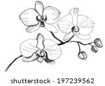 hand drawing orchid flower....   Shutterstock . vector #197239562