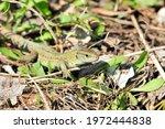 A Quick Lizard  Or A Nimble...