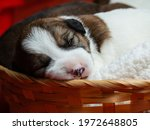 Parson Russell Terrier Puppies...