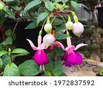 Hybrid Fuchsia Flowers Are...