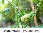Green Unripe Catfaced Tomato...