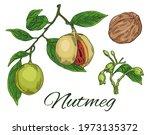 Colorful Nutmeg Hand Drawn Set. ...