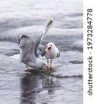 Common Gull  Mew Gull  Or Sea...