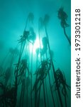 Forest Of South African Kelp ...