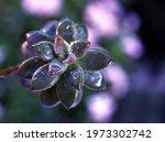 Closeup Succulent Plants With...