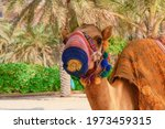 Small photo of Closeup portrait of white purebred friendly little Arabian or the Somali camel colt dromedary, wearing festive decorative protective mask harness taken in the United Arab Emirates