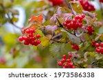 Red Berries Of Viburnum In The...