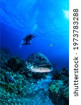 Small photo of Giant fish and diver underwater. Diving scene underwater. Underwater diving. Fish with diver underwater