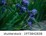 Flowers Of Blue Iris  Blue Iris ...