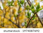 Green blossoming leaves on the...