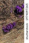 Wild Purple Blooming Crocuses...