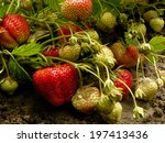 Strawberries Ripening In A...