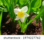 narcissus growing in a...   Shutterstock . vector #1974227762