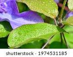 Clematis Leaf In Morning Dew...