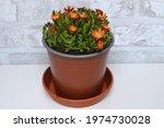 Crocea Iceplant Blooming In...