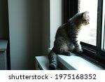 Pondering British Shorthair Cat ...