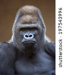 Portrait of a gorilla male ...