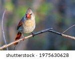 Female Northern Cardinal ...