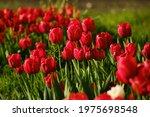 field of red tulips in summer...   Shutterstock . vector #1975698548