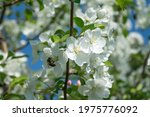 A Honey Bee Pollinates An Apple ...