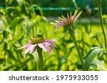 Echinacea Purpurea Flowers ...