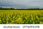 Rapeseed  Canola Or Colza In...