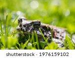 Green Toad  Bufotes Viridis  In ...