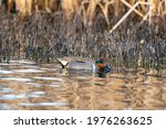 Green Winged Teal Is The...