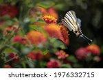 Big Butterfly On Lantana...