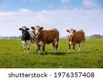 3 Curious Cows In A Green Grass ...