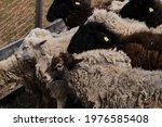 Sheep Eat Fresh Green Grass....
